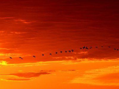 geese-1622692__340-retenue